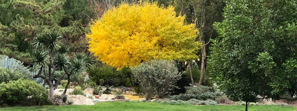 Golden-leafed tree on the edge of gardens
